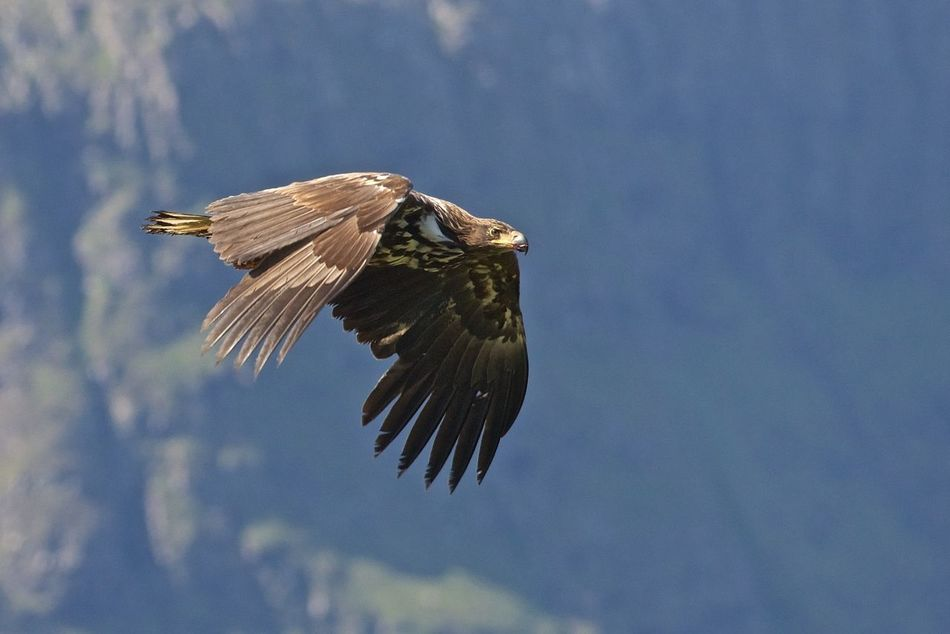 Beautiful stock photos of adler,  Animal Themes,  Animal Wing,  Animals In The Wild,  Beak