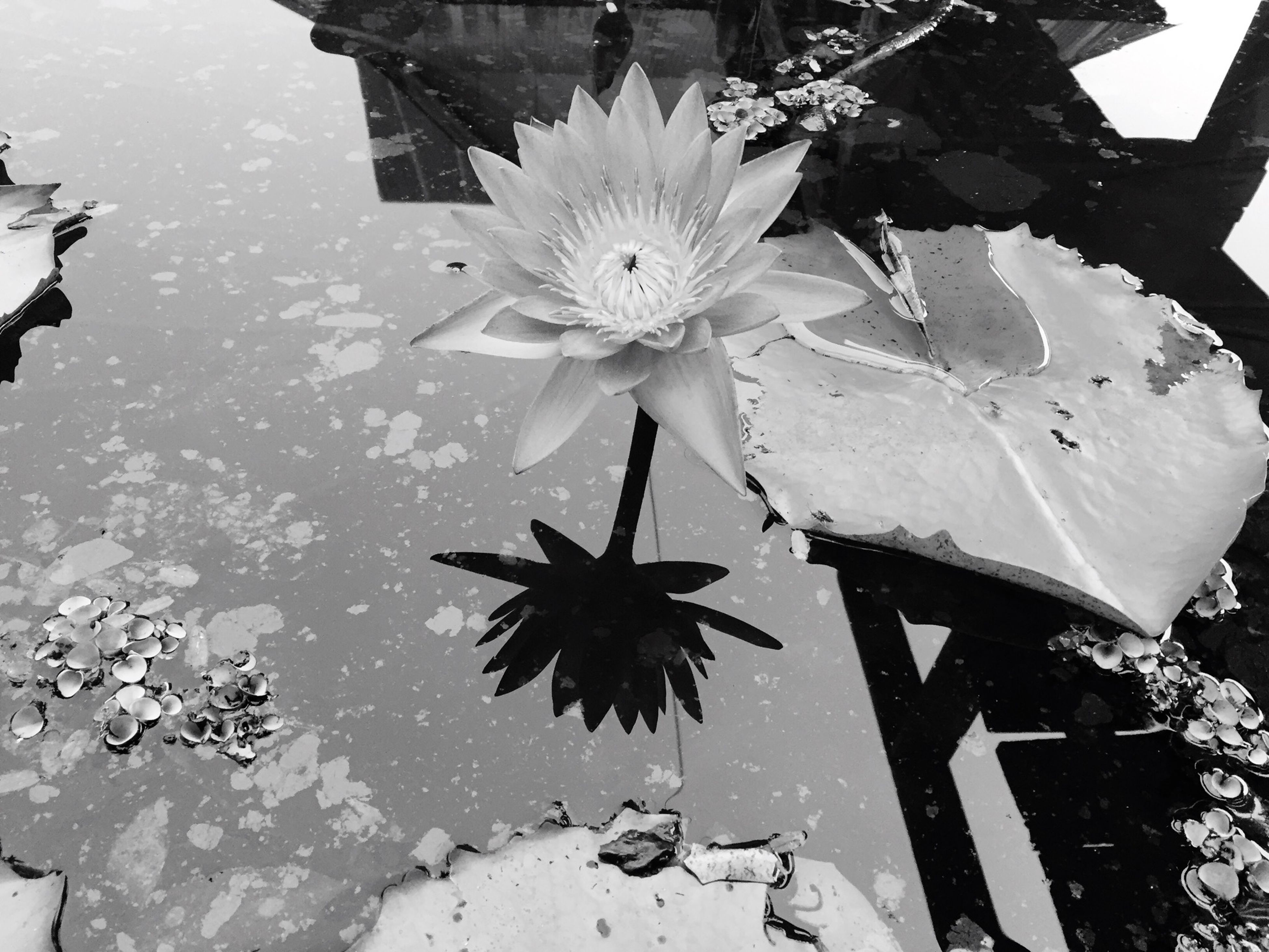 flower, petal, fragility, freshness, growth, flower head, water, leaf, beauty in nature, blooming, pond, plant, nature, single flower, high angle view, water lily, in bloom, day, floating on water, lake