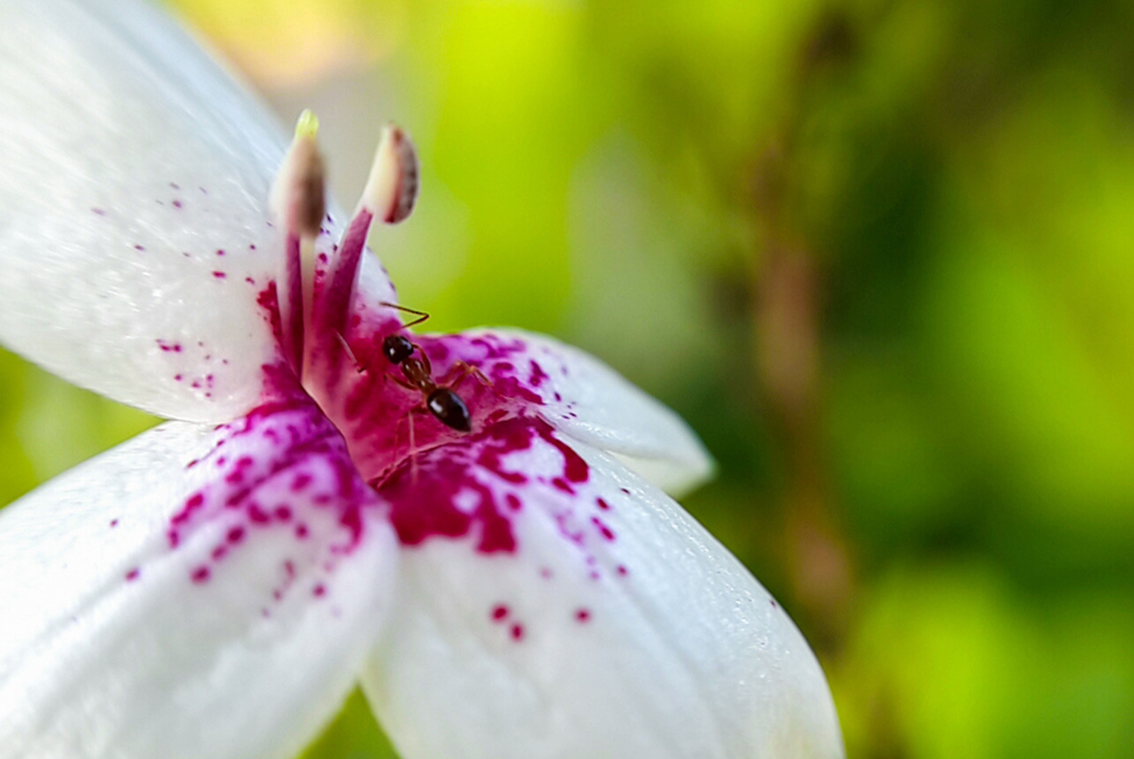 flower, freshness, petal, fragility, flower head, growth, close-up, beauty in nature, focus on foreground, nature, insect, animal themes, white color, animals in the wild, pink color, pollen, wildlife, one animal, blooming, stamen