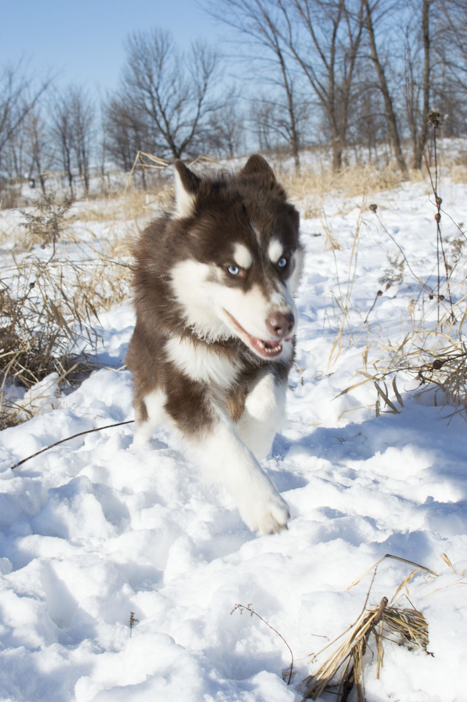 Animal Themes Bare Tree Beauty In Nature Cold Temperature Day Field Frozen Husky Mammal Minnesota Mn Nature No People One Animal Outdoors Portrait Siberian Husky Snow Snowing Tree Weather White Color Winter Minnesota Nature Pets
