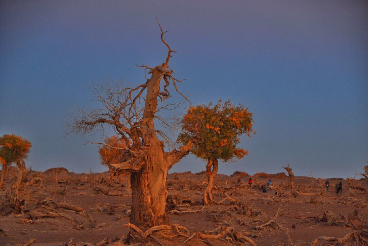 tree, desert, arid climate, landscape, no people, bare tree, nature, outdoors, plant, blue, day, branch, sky