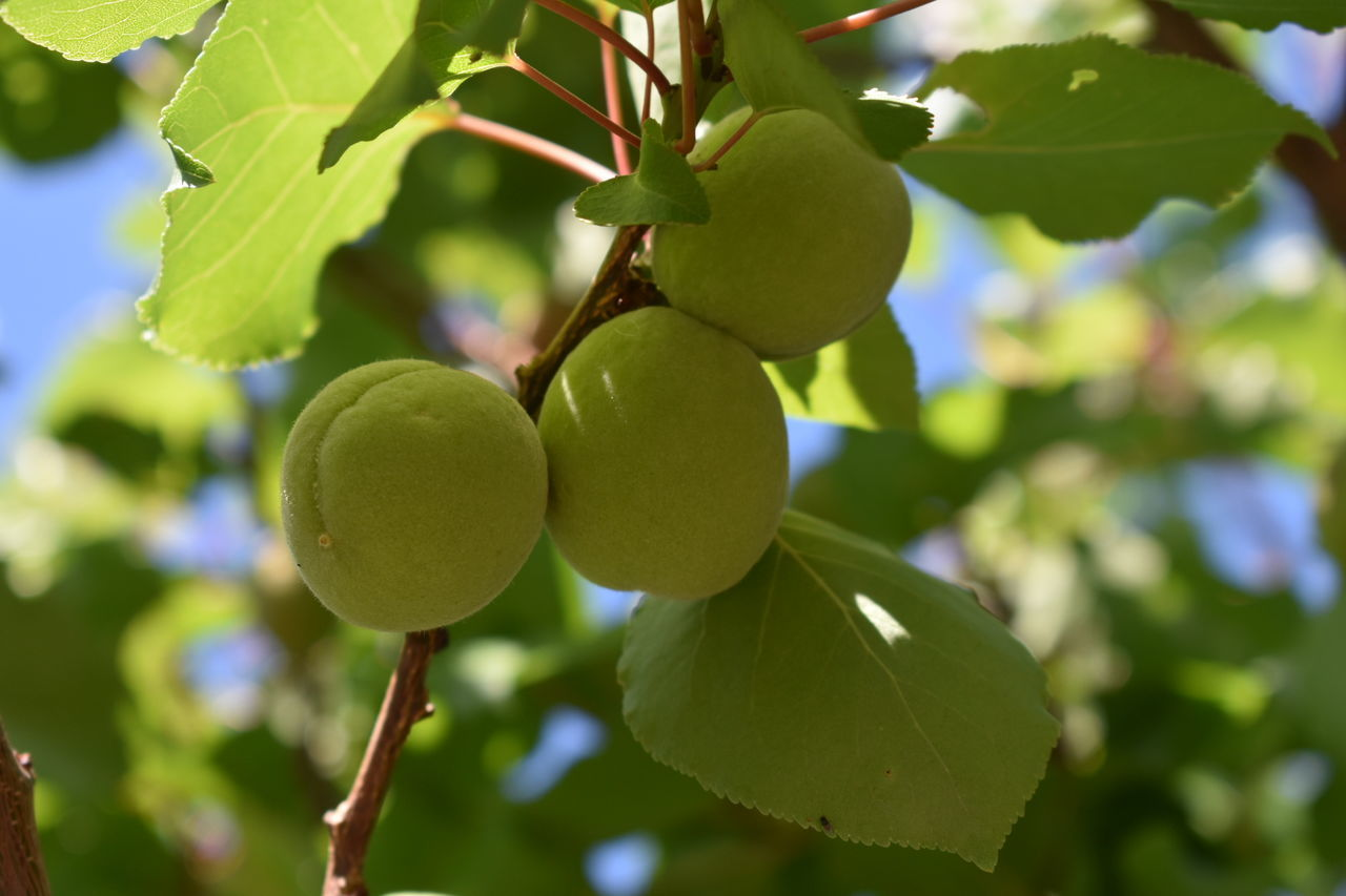 Fruit Growth Green Color Focus On Foreground Nature Leaf Close-up Branch Tree Freshness No People Beauty In Nature Outdoors Apricot Tree