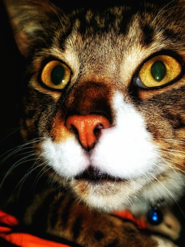 One Animal Looking At Camera Animal Themes Portrait Pets Whisker Domestic Animals Animal Head  No People My Boy! Feline My Ninja Animal Nose Domestic Cat Canveyisland Essex Tabby Besotted