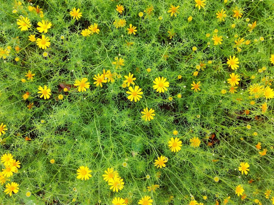 Yellow Growth Nature Green Color Flower Beauty In Nature No People Backgrounds Outdoors Grass Close-up Day