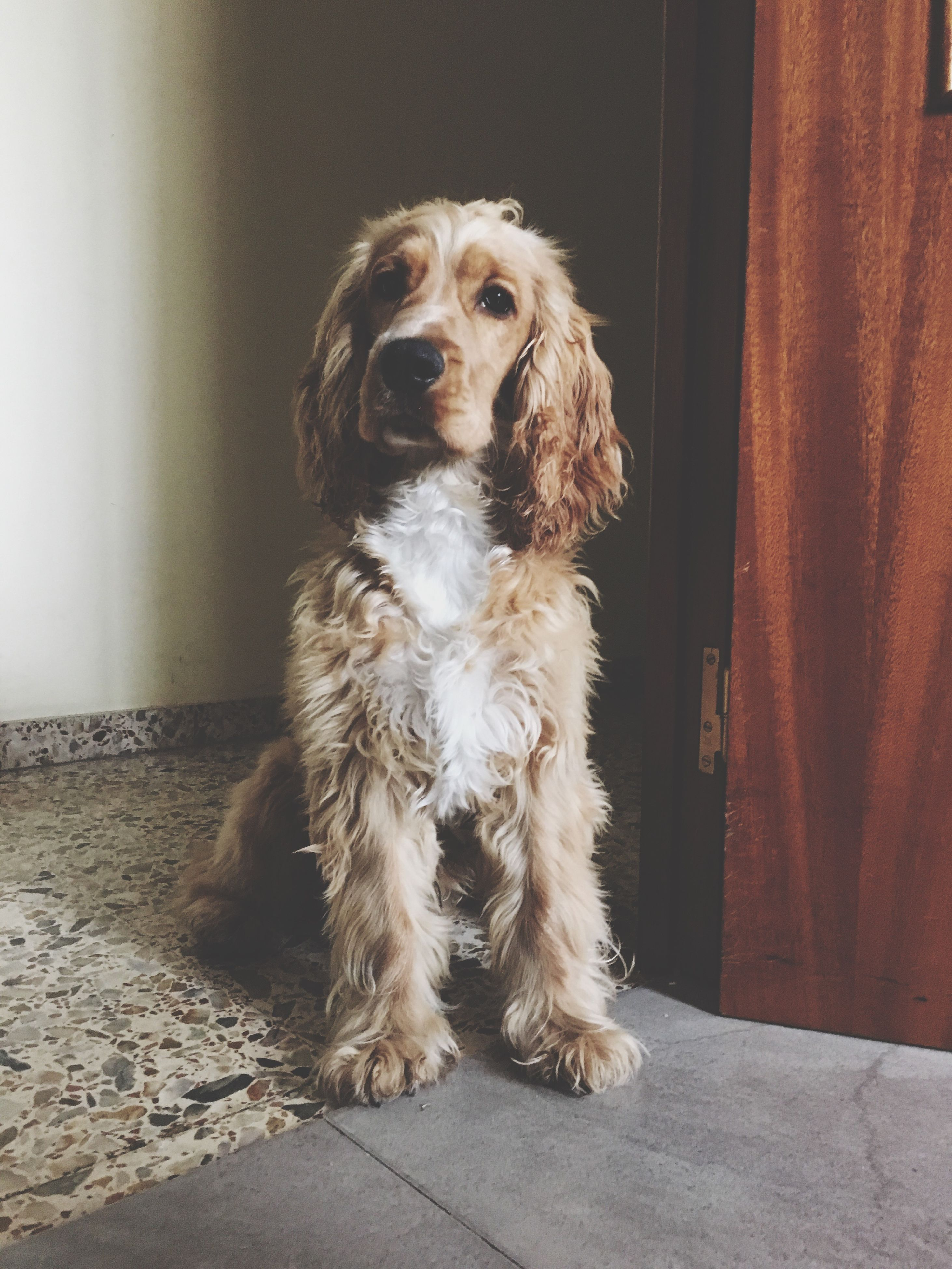 dog, pets, domestic animals, animal themes, one animal, mammal, indoors, animal hair, sitting, portrait, full length, looking at camera, home interior, loyalty, front view, flooring, pampered pets, no people, relaxation