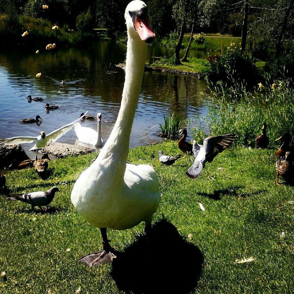 """""""WhatchaLookinAtLady"""" Swanlake Swansrulethelake 5swanlings2015💟 Enjoyingsummertime Dontbiteme"""