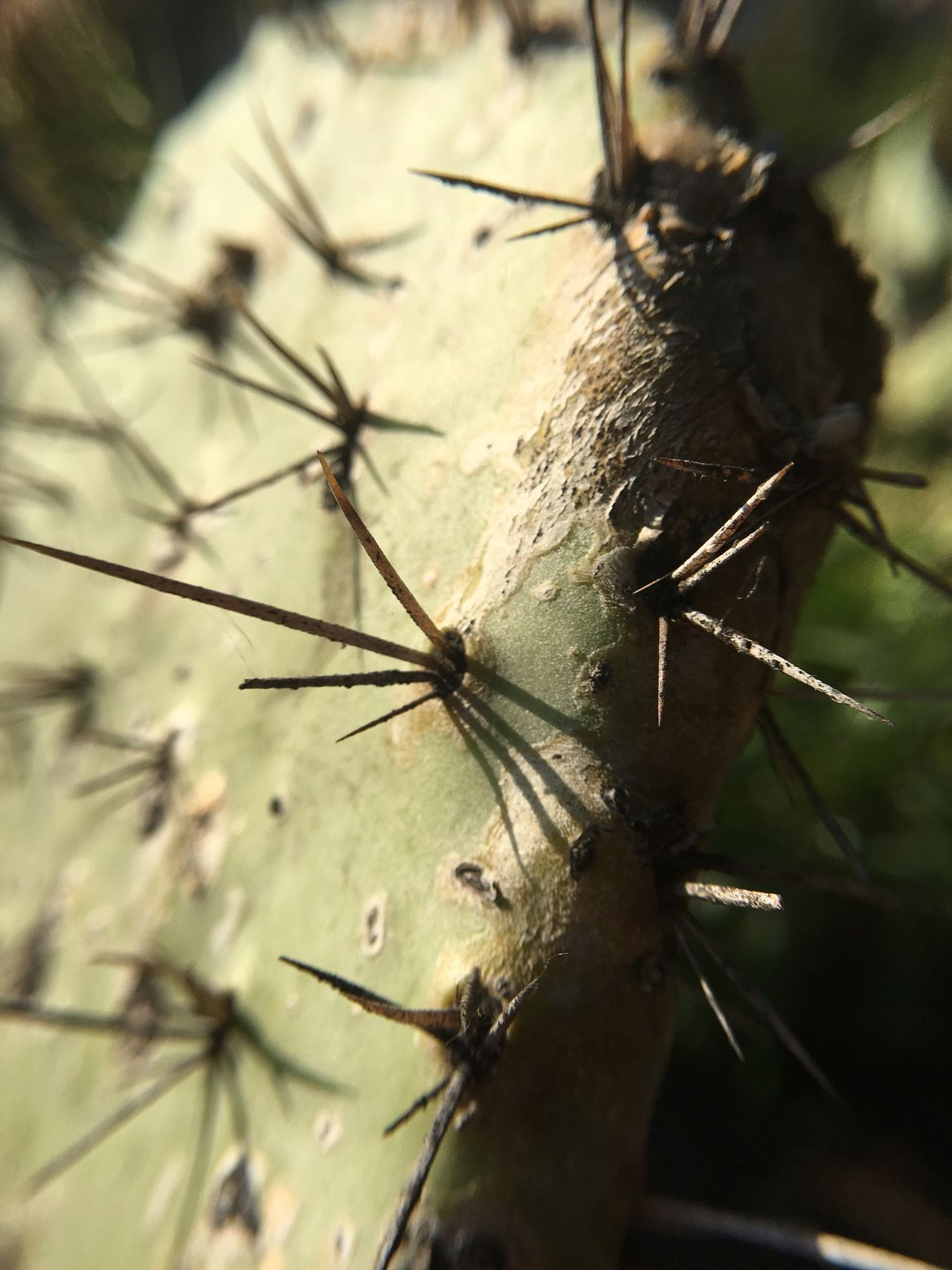 Focus On Foreground Nature Plant Close-up Outdoors Day Cactus Cacti Succulents Spines Spiky Spikes Macro Green Desert California