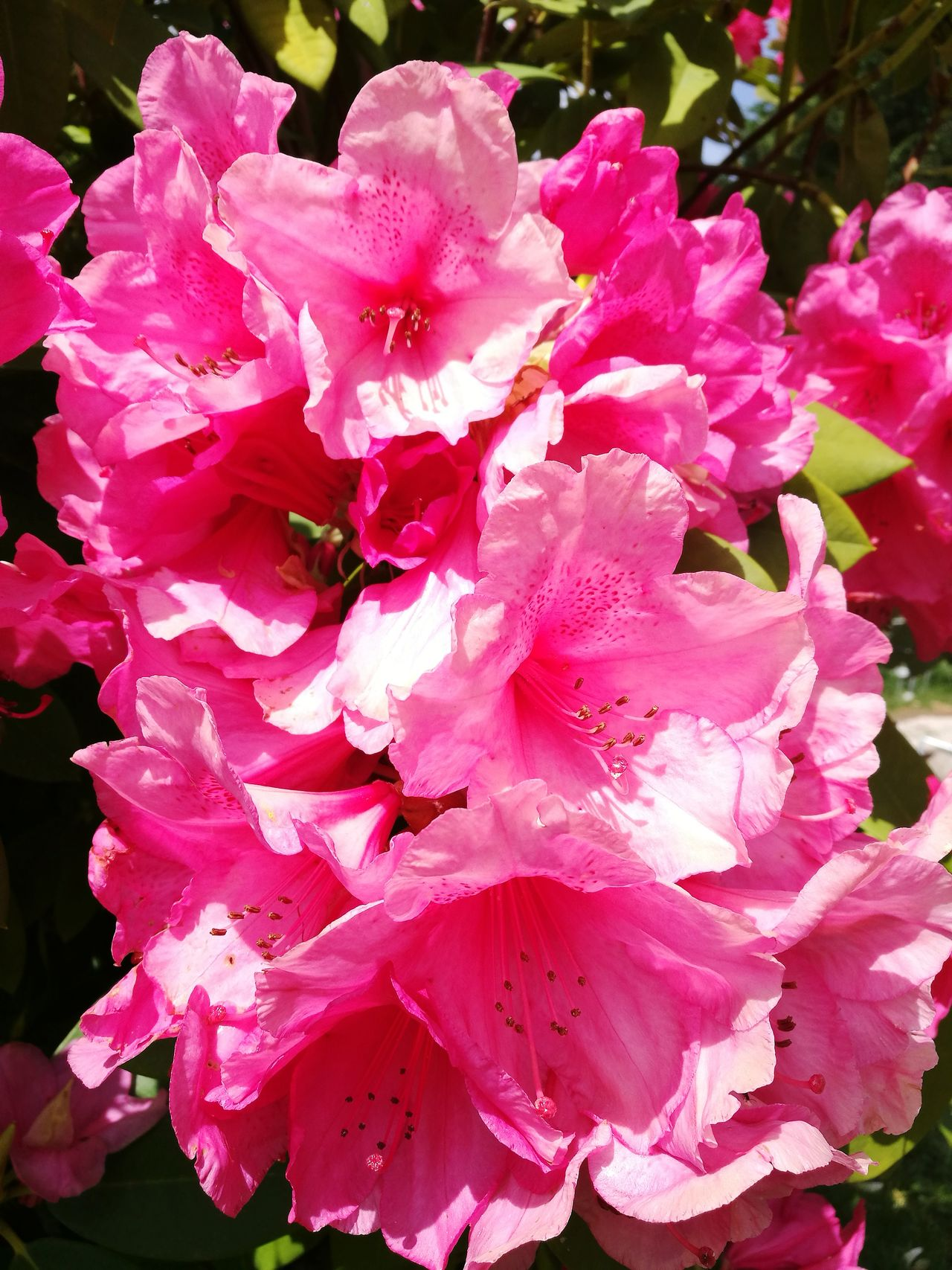 Rodho Flower Pink Color Petal Nature Fragility Beauty In Nature No People Flower Head Plant Growth Freshness Peony  Outdoors Day Wild Rose Close-up Blooming