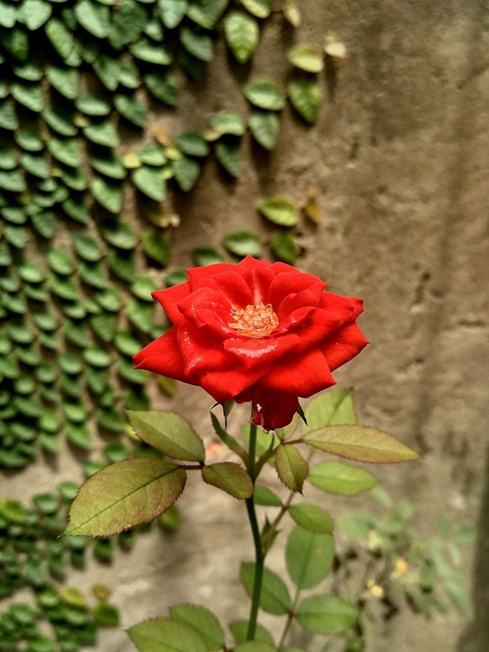 Flower Fragility Nature Beauty In Nature Red Petal Freshness Growth Flower Head Plant Close-up Blooming Outdoors Day Leaf No People Green Color Trees And Sky Beauty In Nature Red