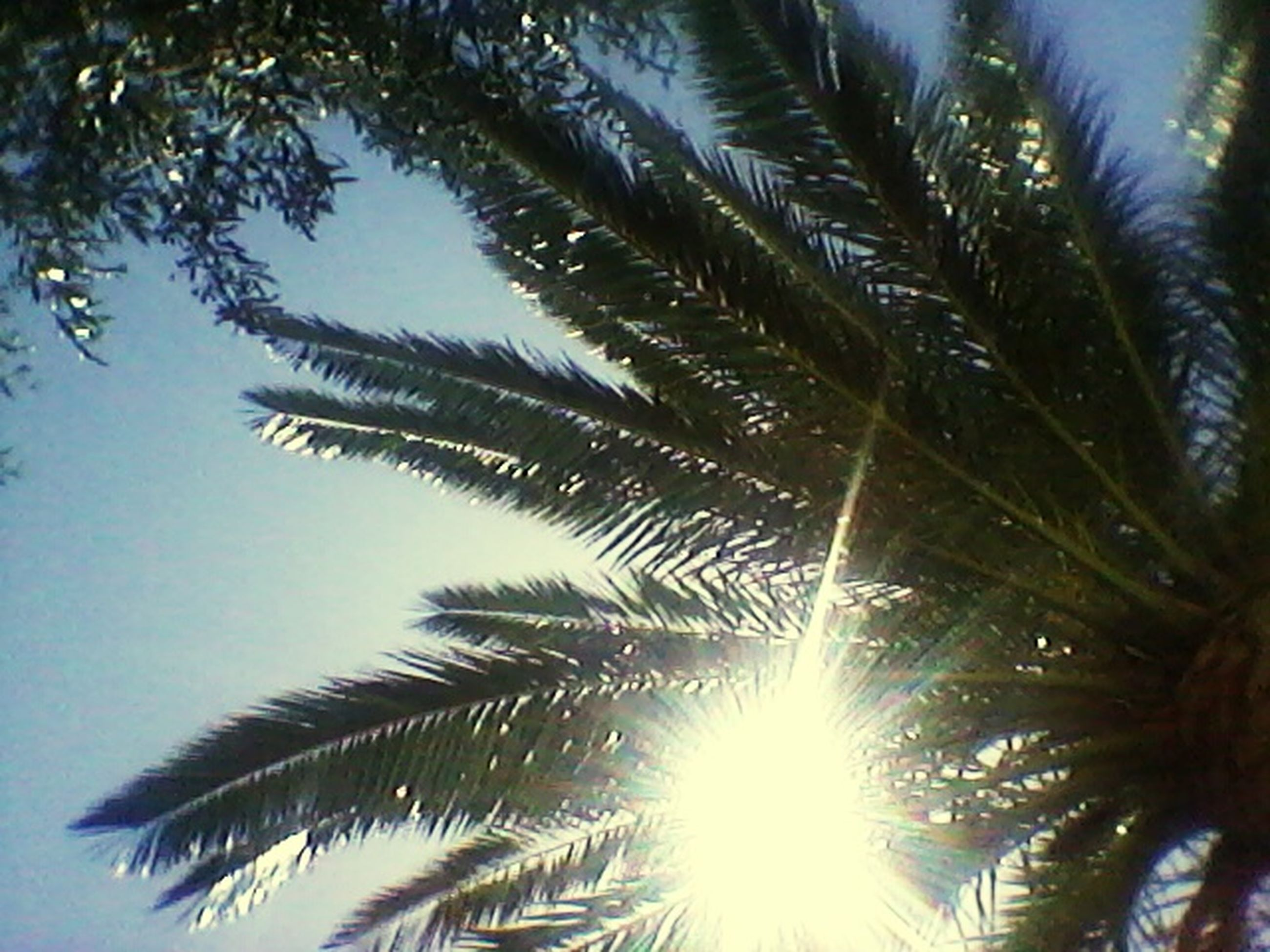 low angle view, palm tree, tree, growth, sun, nature, leaf, tranquility, beauty in nature, sunlight, palm leaf, clear sky, branch, sky, day, outdoors, no people, silhouette, scenics, green color