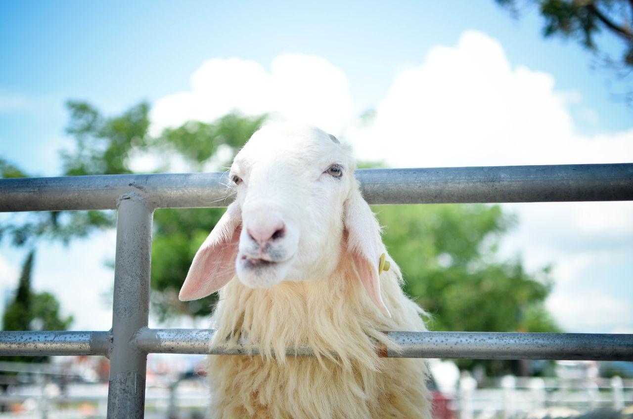 Close-up Fence Mammal Nature Outdoors Portrait Sheep Sheep Farm Sheeps EyeEm Nature Lover EyeEm Best Shots Farm