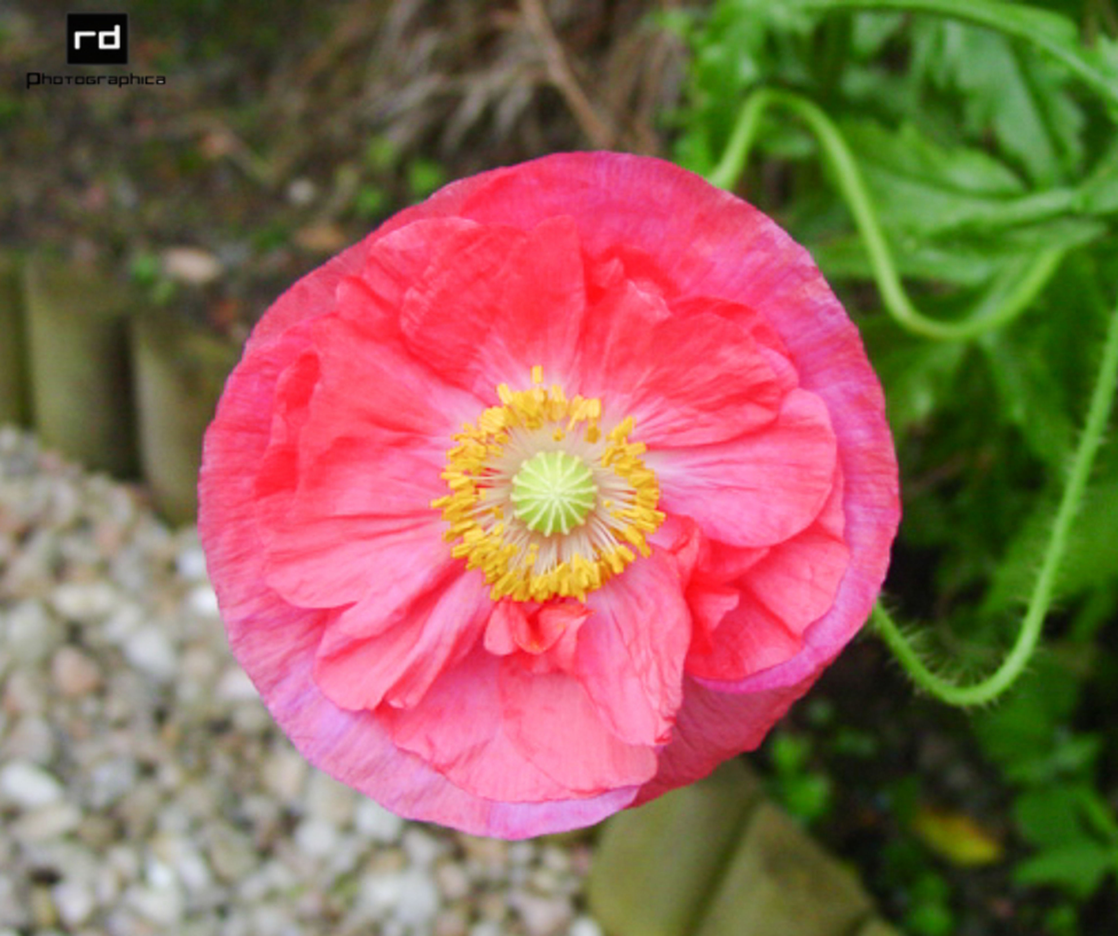 flower, freshness, red, petal, growth, close-up, fragility, focus on foreground, flower head, pink color, beauty in nature, nature, blooming, plant, single flower, field, day, outdoors, high angle view, selective focus