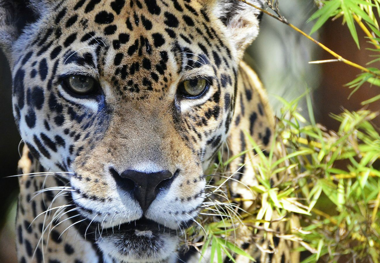 Beautiful stock photos of jaguar, , Horizontal Image, abundance, alertness