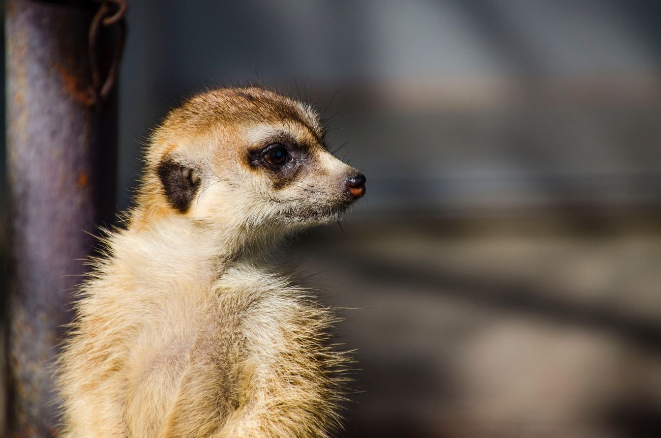 Animal Themes One Animal Focus On Foreground Animal Wildlife Mammal Animals In The Wild Close-up Meerkat No People Outdoors Nature Day