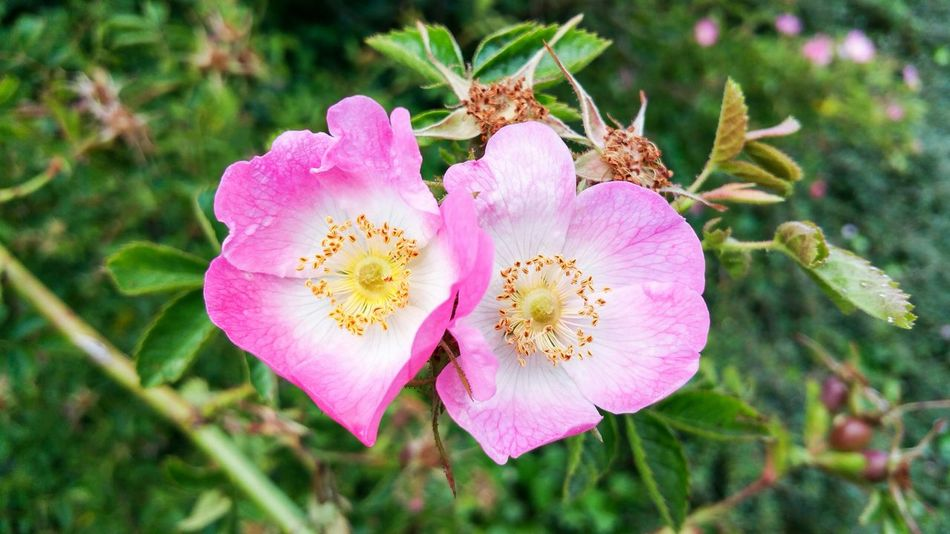 Heart Shaped  Dog Rose Pink Flowers Blooms Nature Two Hearts Became One Summer Love