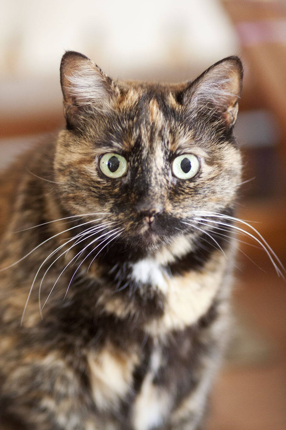 Animal Themes Close-up Day Domestic Animals Domestic Cat Feline Indoors  Looking At Camera Mammal No People One Animal Pets Portrait Whisker