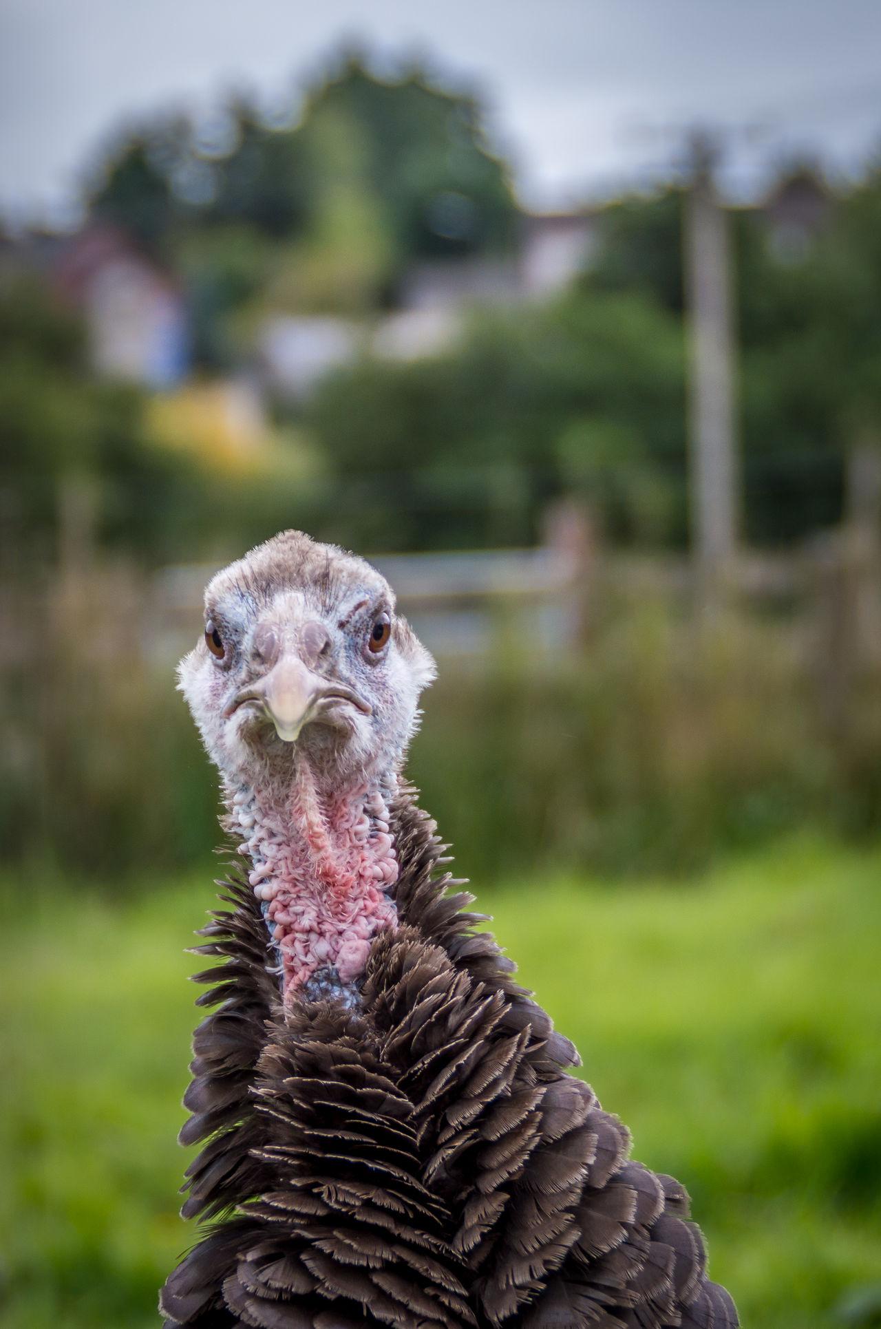 Animal Close-up Co. Kildare Curiosity Depth Of Field Ireland🍀 Nature Outdoors Selective Focus Turkey Wildlife