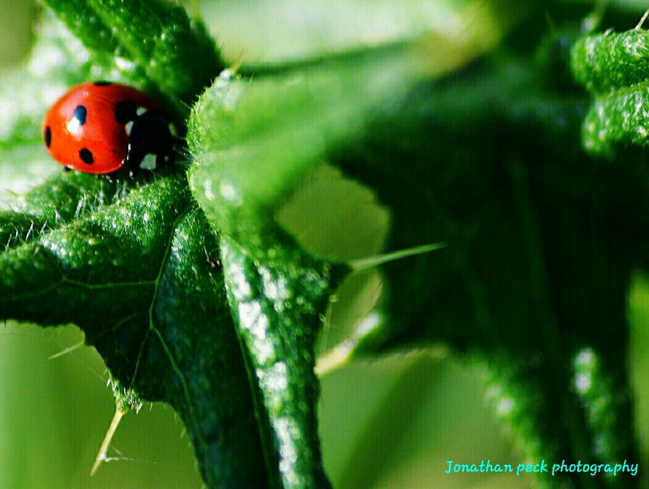 insect, ladybug, animals in the wild, animal themes, one animal, close-up, red, green color, leaf, tiny, no people, outdoors, plant, day, nature