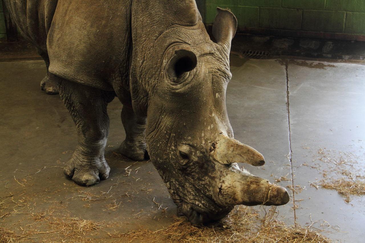 Wildlife Nature Mammal Animal Themes Zoology One Animal Close-up Zoo Wildlife & Nature Rhino Rhinoceros Endangered  Endangered Species Endangered Animals