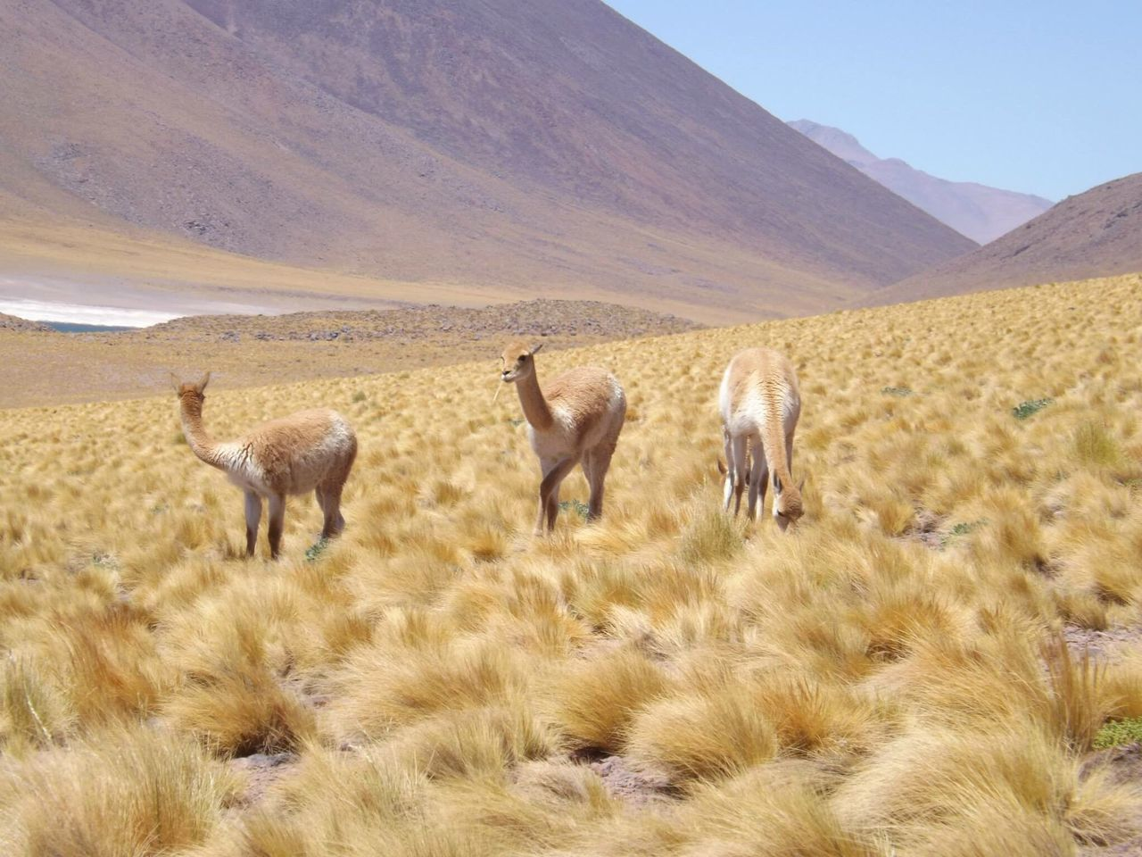 Lagunas altiplánicas, San Pedro de Atacama Traveling Nature Nature Photography Nature_collection Animals In The Wild Animals Animal Wildlife Travel Travel Destinations Travel Photography Chile Desierto Desierto De Atacama Mountain Yellow