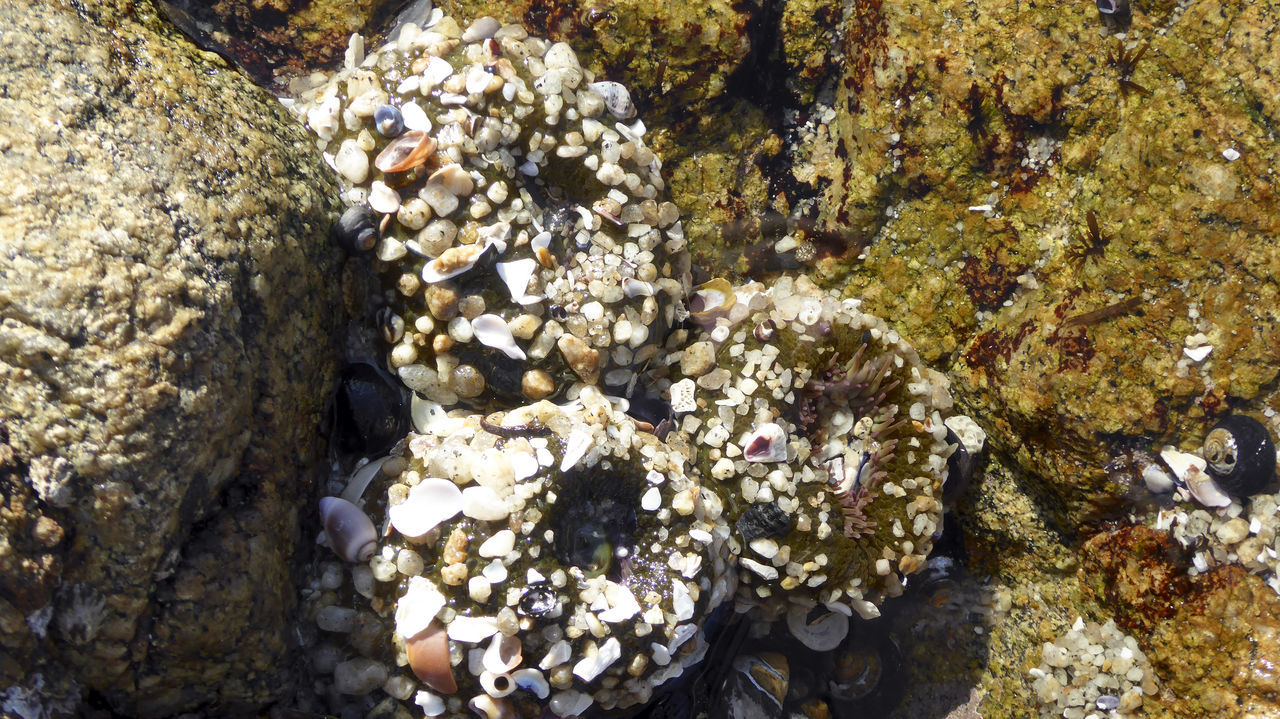 Three Sea Anomies in a tidepool Beach Beauty In Nature Close-up Day Geology High Angle View Nature No People Outdoors Pebble Rock - Object Rough Sea Sea Anome Textured  Tidepools