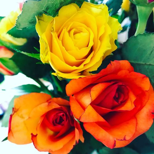 Roses Yellow Rose Orange Rose Three Roses Spring Freshness Flower Beauty In Nature Rose - Flower Flower Head Multi Colored IPhone 7 IPhoneography Beauty In Nature IPhone Photography EyeEmNewHere EyeEm Nature Lover EyeEm Flower EyeEm Flowers Collection Eyeem Flowers On Market