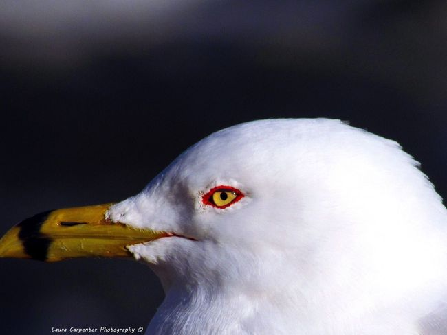 Seagull with Golden Eye Birds Bird Love Close-up Nature Seagull Gold Eyes Nature Love