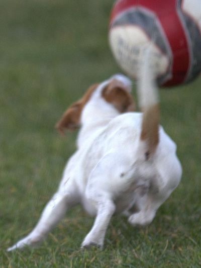 Animal Animal Love Animal Photography Chien Chiendechasse Chiens Dog Hund Petit Chien