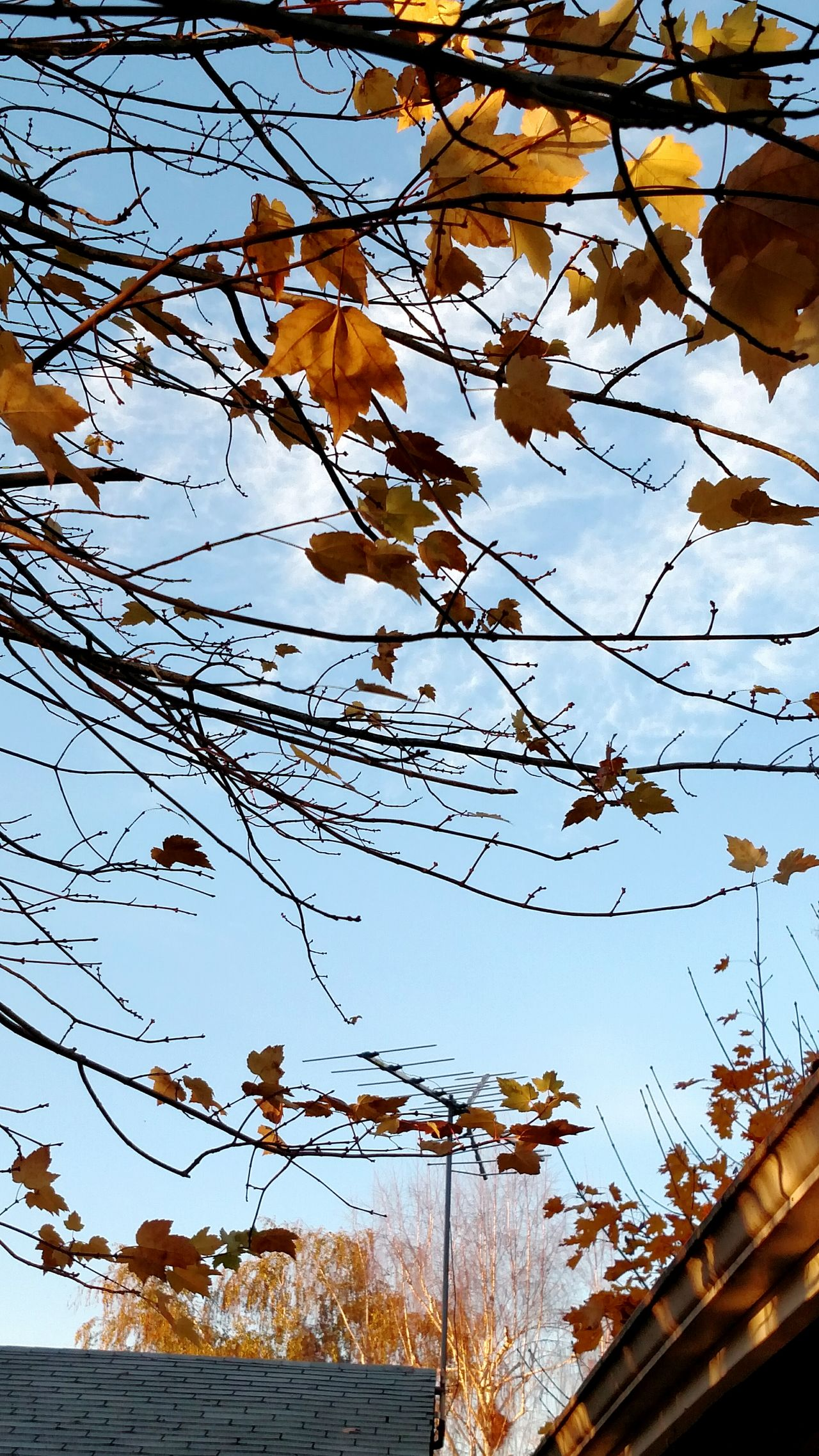 Clear Blue Sky Mapleleaf Leafs Tree Rooftop Beautiful Fall Day
