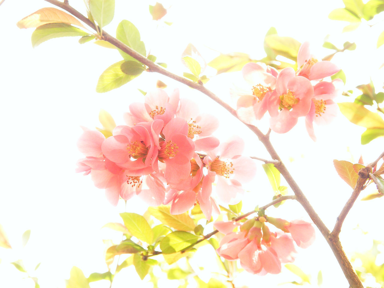 Magnolia Beauty In Nature Blossom Branch Clear Sky Close-up Day Flower Flower Head Fragility Freshness Growth Low Angle View Nature No People Outdoors Petal Pink Color Springtime Tree