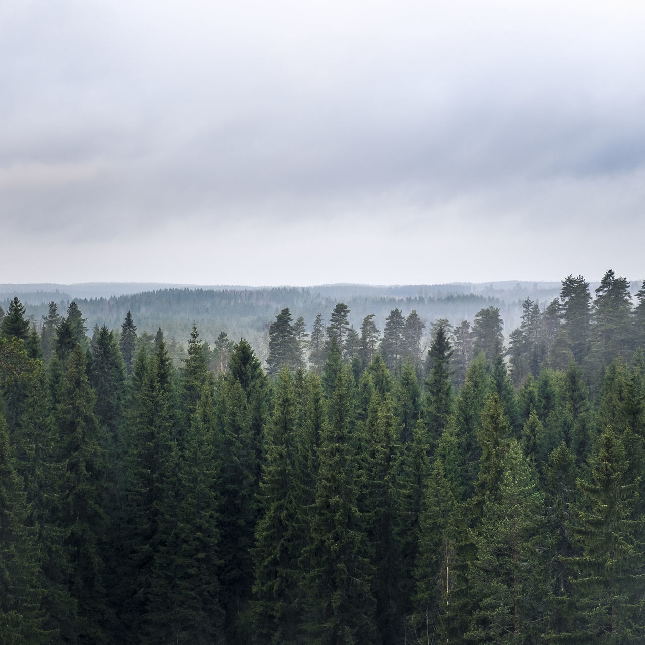 Scenic forest view Clouds And Sky Cloudy Day Fog Foggy Forest Gloomy Weather Horizon Landscape Mist Misty Nature No People Outdoors Scenics Spruce Tree Tree Trees