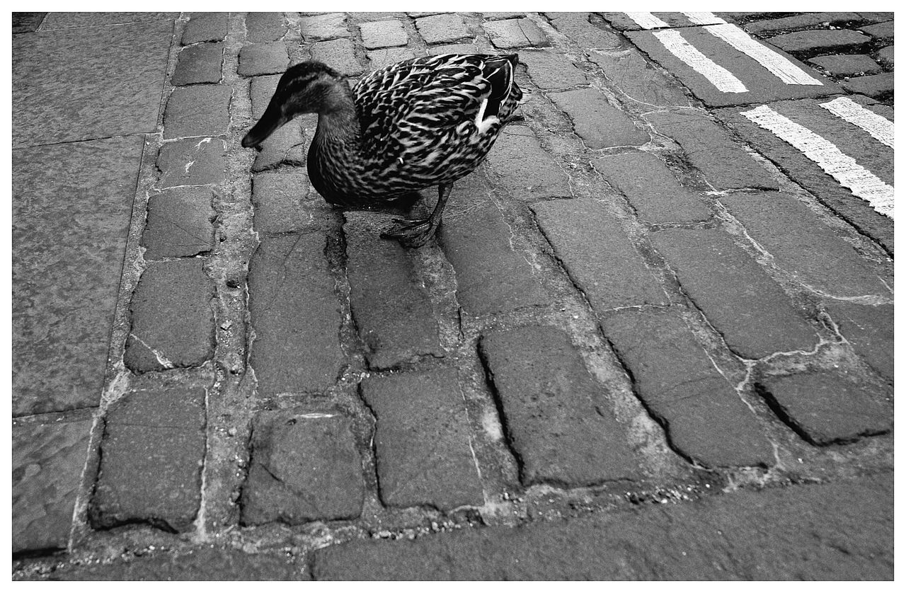 Ducks One Animal Outdoors Animals In The Wild St Andrews Scotland Pavememt Cobblestones