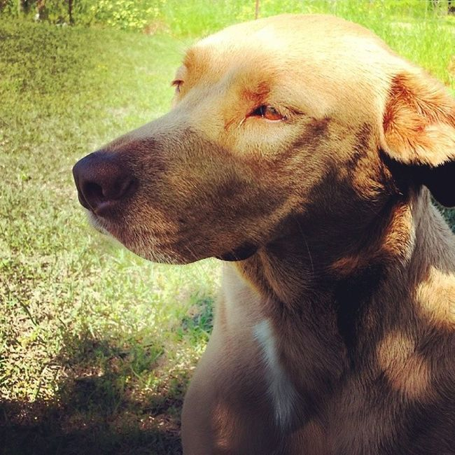 Daisey Marie Rhodes Claxton chilling on a nice (finally) afternoon in Georgia. GA Ruralgeorgia Harrisonga AdoptDontShop instagood muttlove muttpower