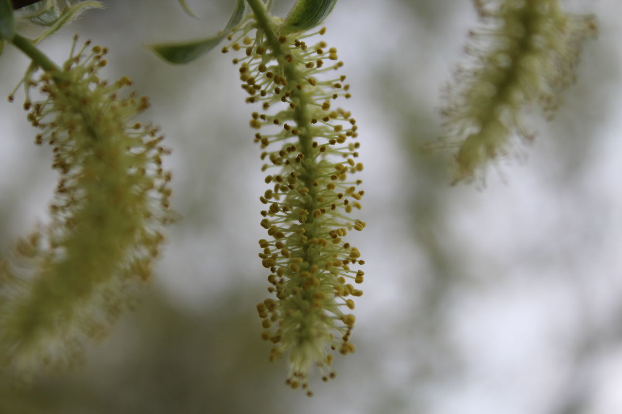 green color, growth, beauty in nature, nature, catkin, close-up, no people, plant, day, outdoors, freshness