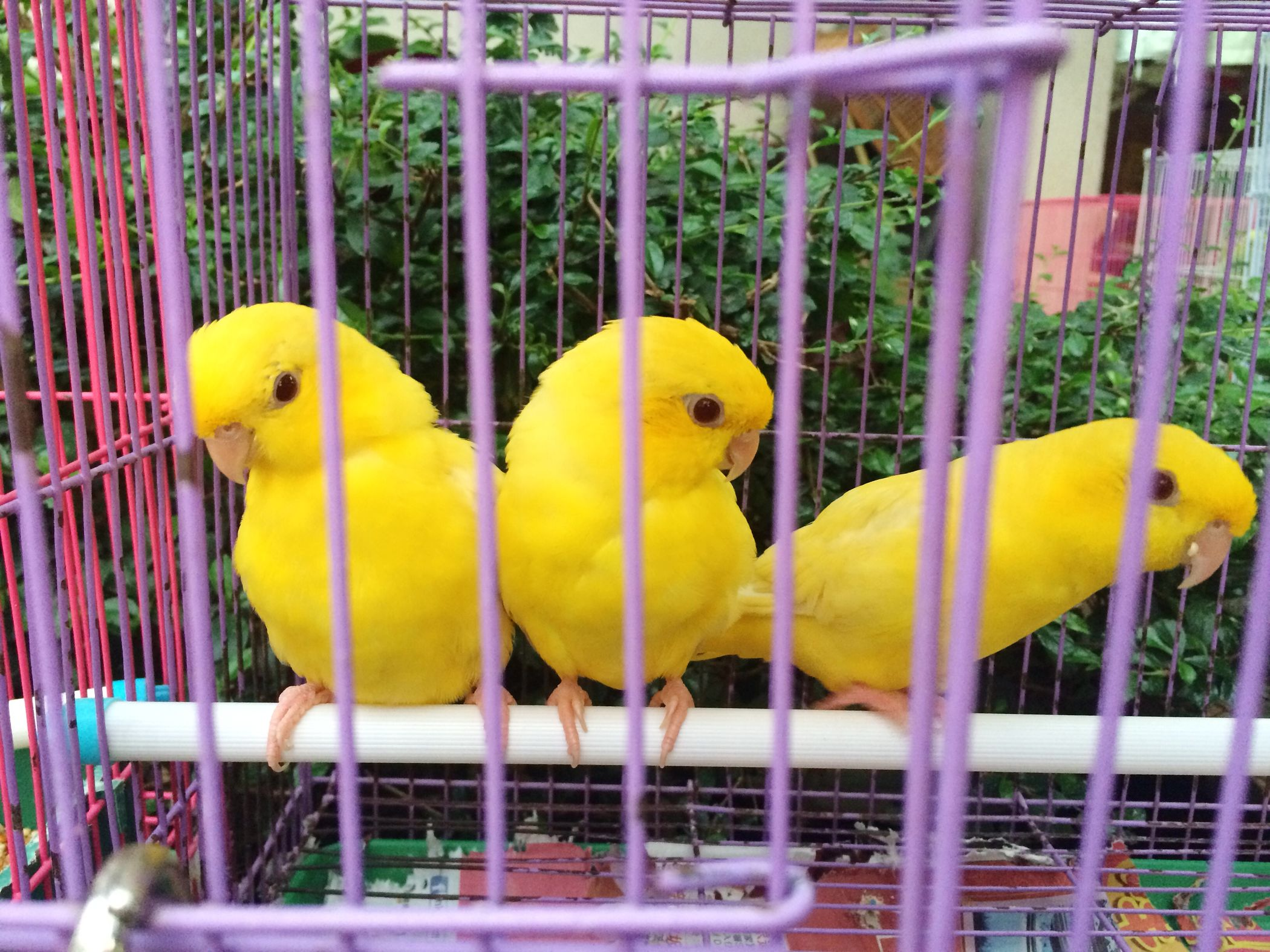 Cute one Lineolated Parakeet Thisisme