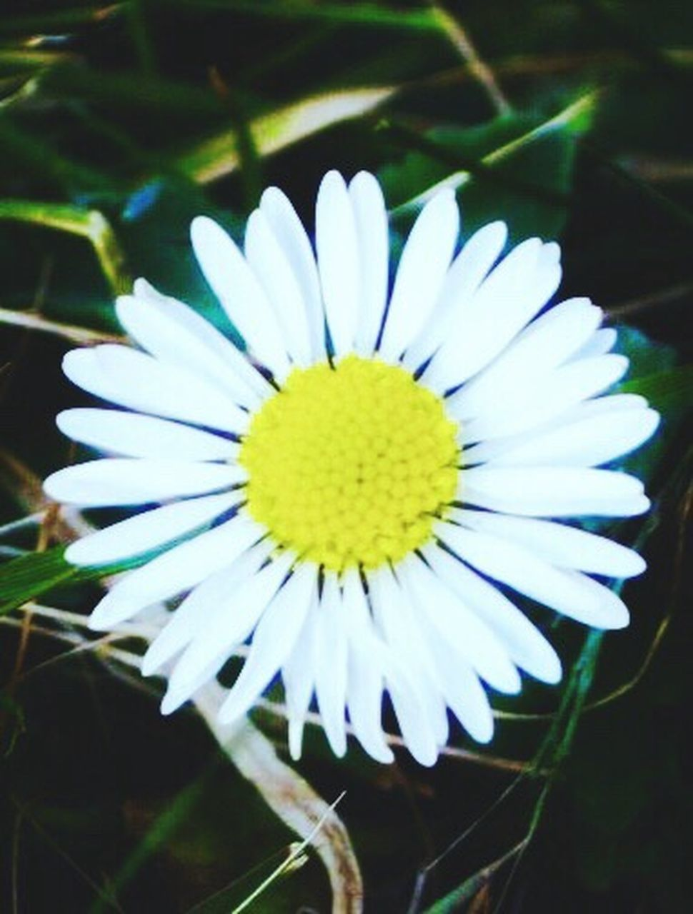 flower, fragility, petal, flower head, freshness, beauty in nature, nature, white color, growth, plant, yellow, close-up, day, no people, outdoors, blooming