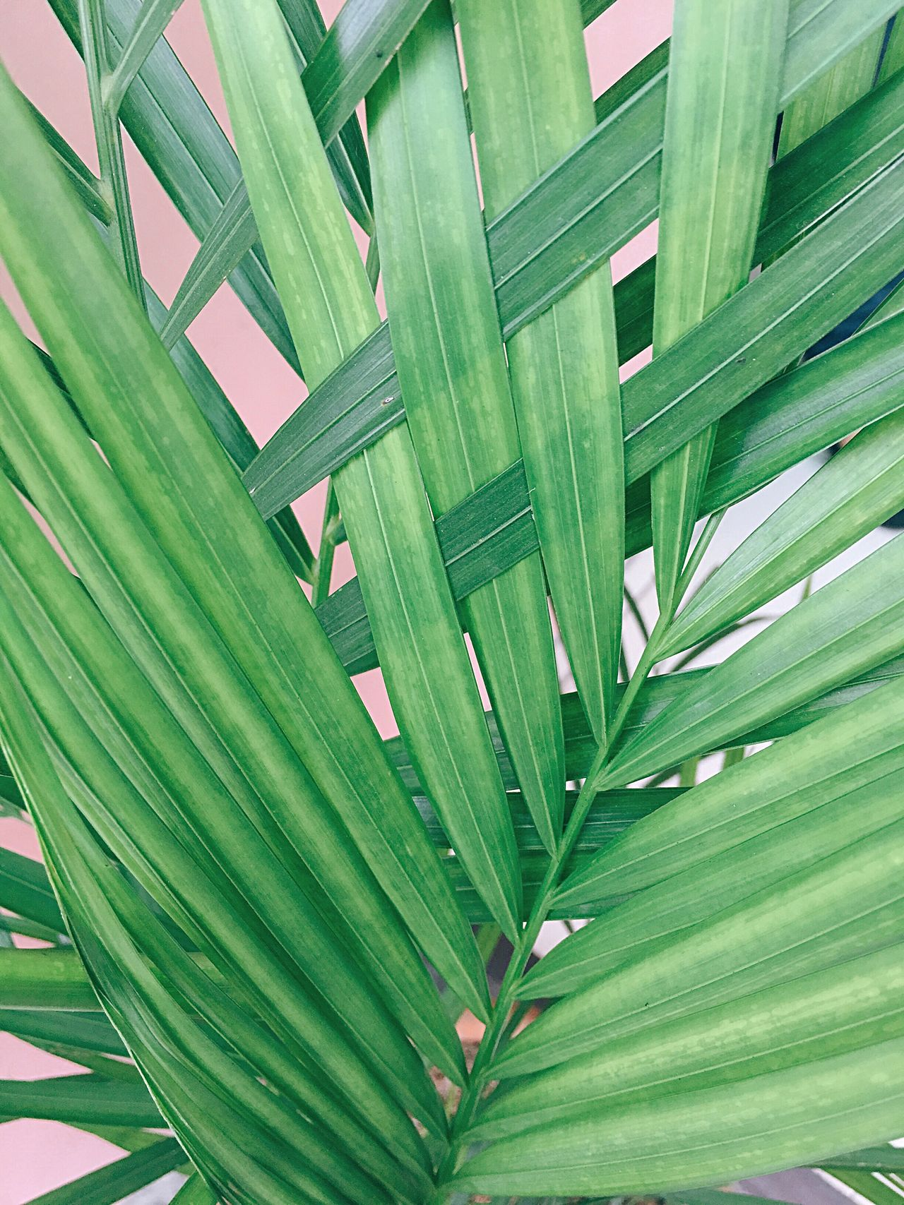 Green Color Leaf Growth Nature Palm Tree No People Backgrounds Plant Close-up Tree Day Outdoors Freshness Eyeem Philippines Sommergefühle