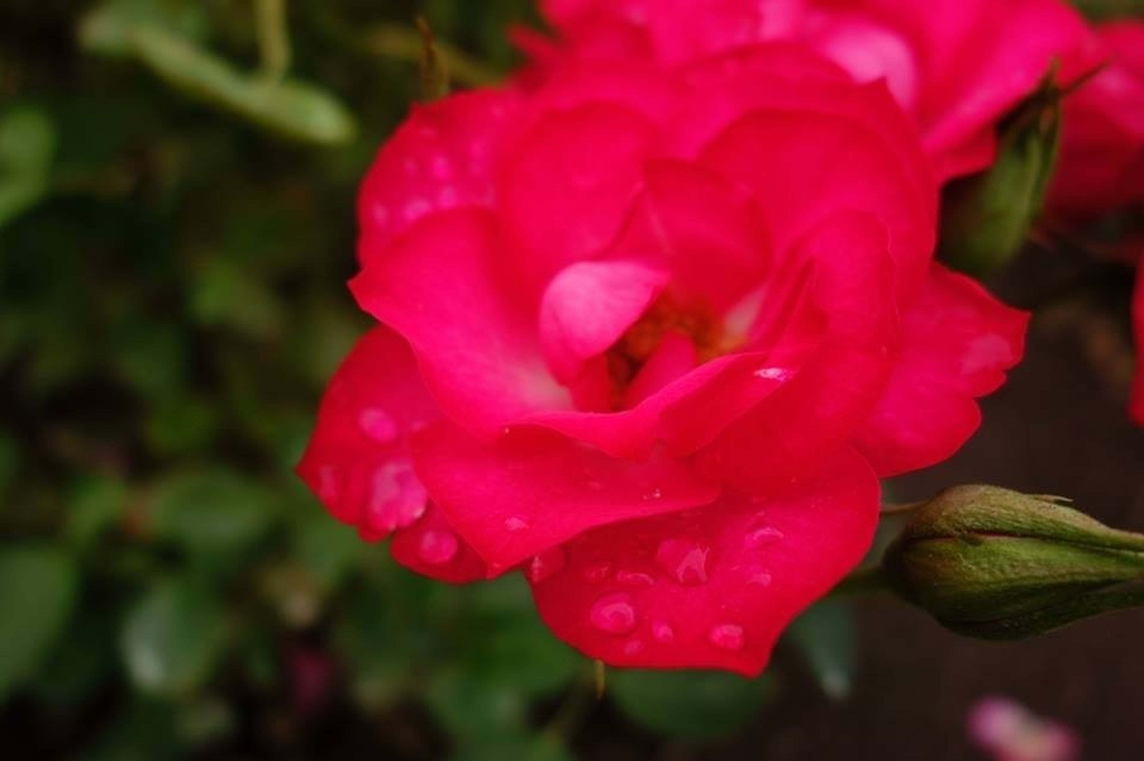 flower, petal, freshness, flower head, fragility, growth, close-up, beauty in nature, blooming, rose - flower, focus on foreground, nature, single flower, plant, red, drop, pink color, in bloom, wet, selective focus