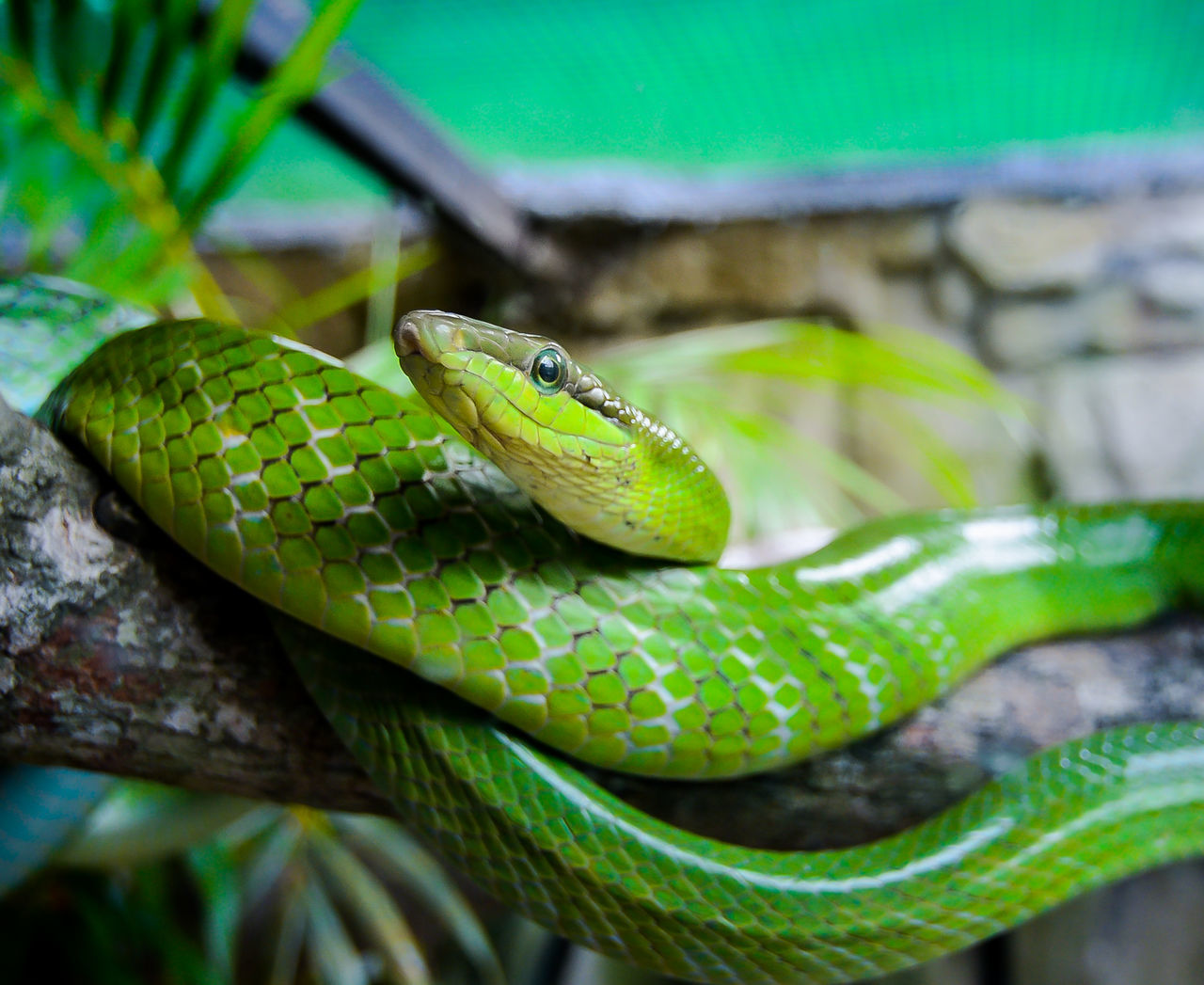 Green Snake Magazine Cover Natgeo PLANET ANI Poison Reptile Venom Wallpaper Wildlife & Nature Zoology