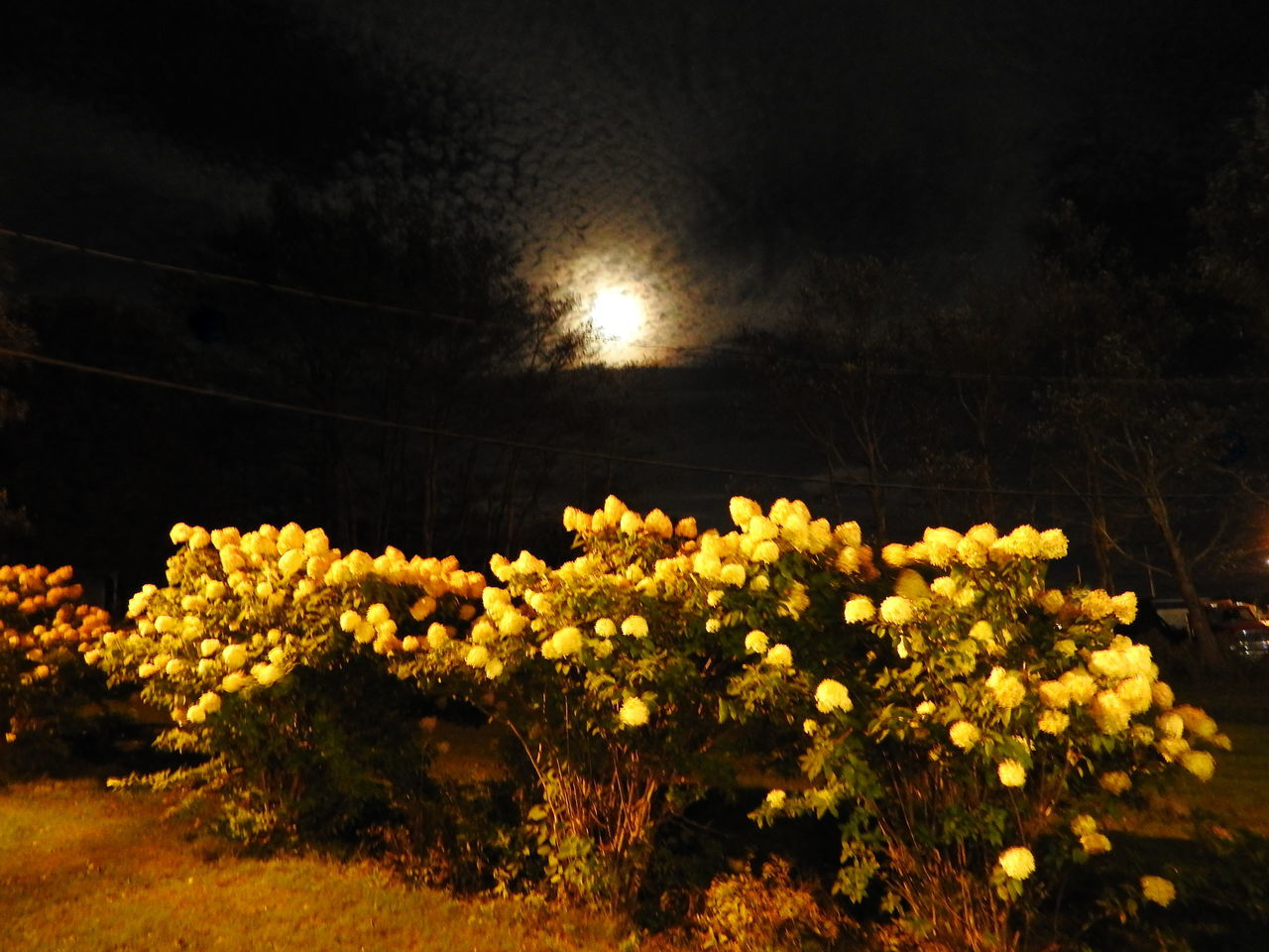 flower, beauty in nature, nature, growth, yellow, night, plant, no people, outdoors, tranquility, scenics, fragility, illuminated, freshness, flower head, sky