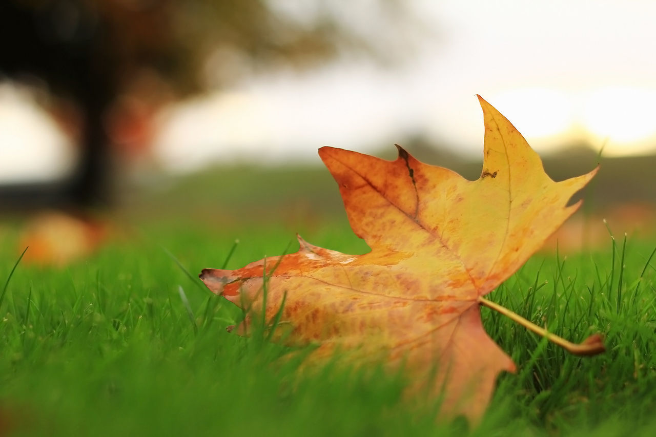 leaf, autumn, change, dry, maple leaf, nature, grass, maple, selective focus, leaves, fallen, orange color, close-up, day, outdoors, beauty in nature, field, no people, fragility