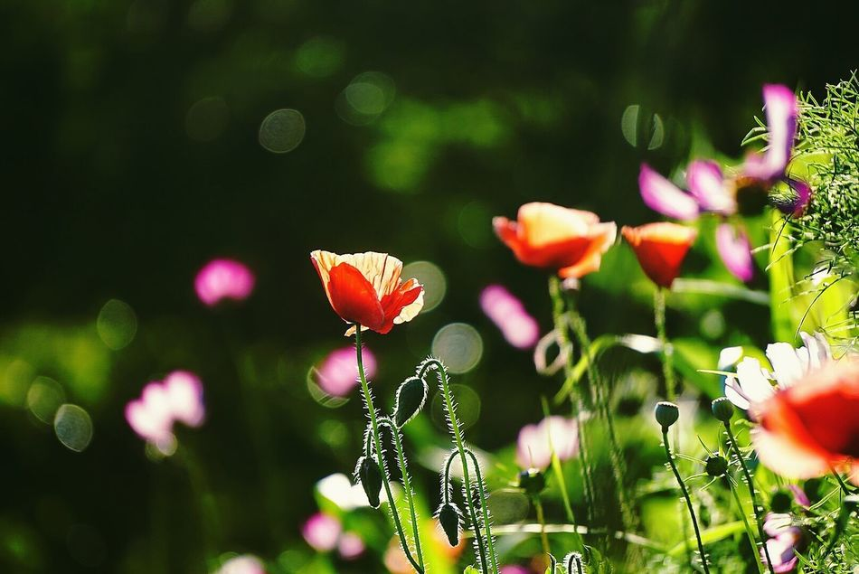Beautiful stock photos of garden,  Back Lit,  Beauty In Nature,  Bloom,  Blooming
