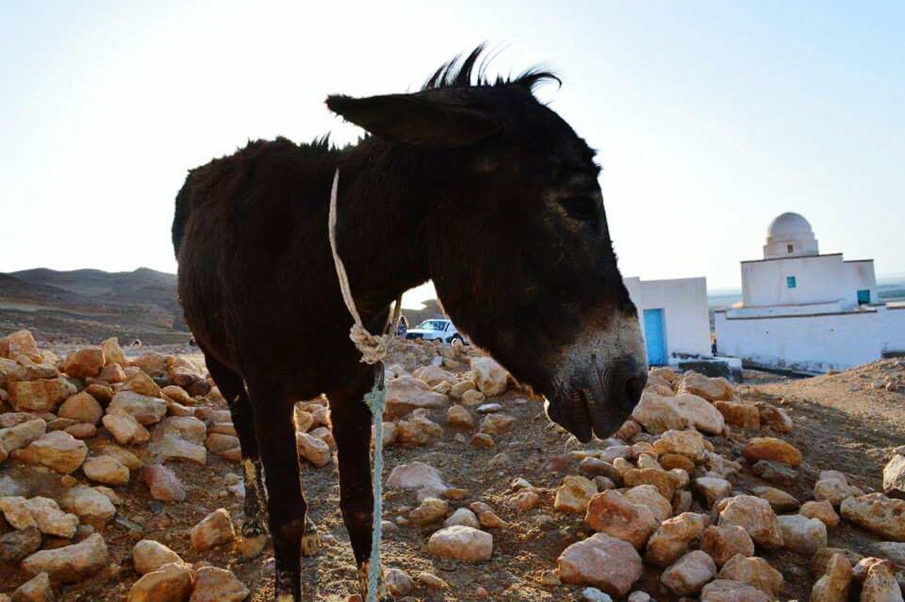 Tunesia Travel Destinations Lonely Donkey Saddness Heat Close-up Ontopofthehill Animals Agriculture Livestock EyeEmNewHere Travel