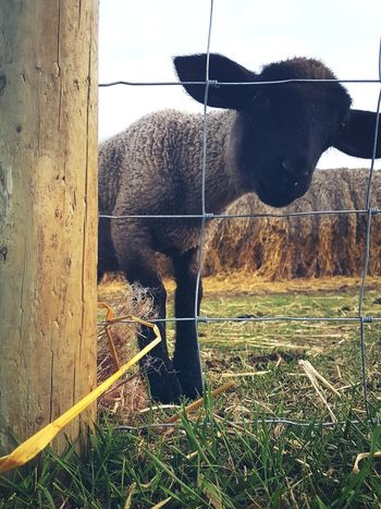 Farmlife Livestock Lambs TooCute Photography Nature Outdoors