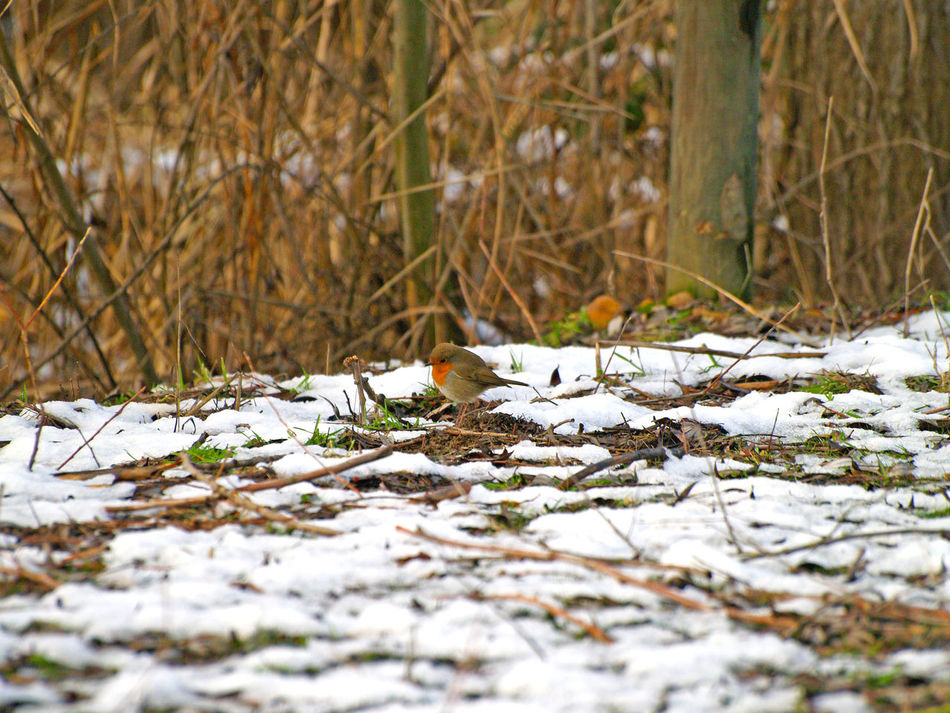 Animal Animal Themes Animals Animals In The Wild Animals In The Wild Bird Bird Photography Birds Cold Cold Temperature Day Environment Erithacus Erithacus Rubecula Nature No People One Animal Outdoors Perching Robin Snow Snow ❄ Wildlife Winter