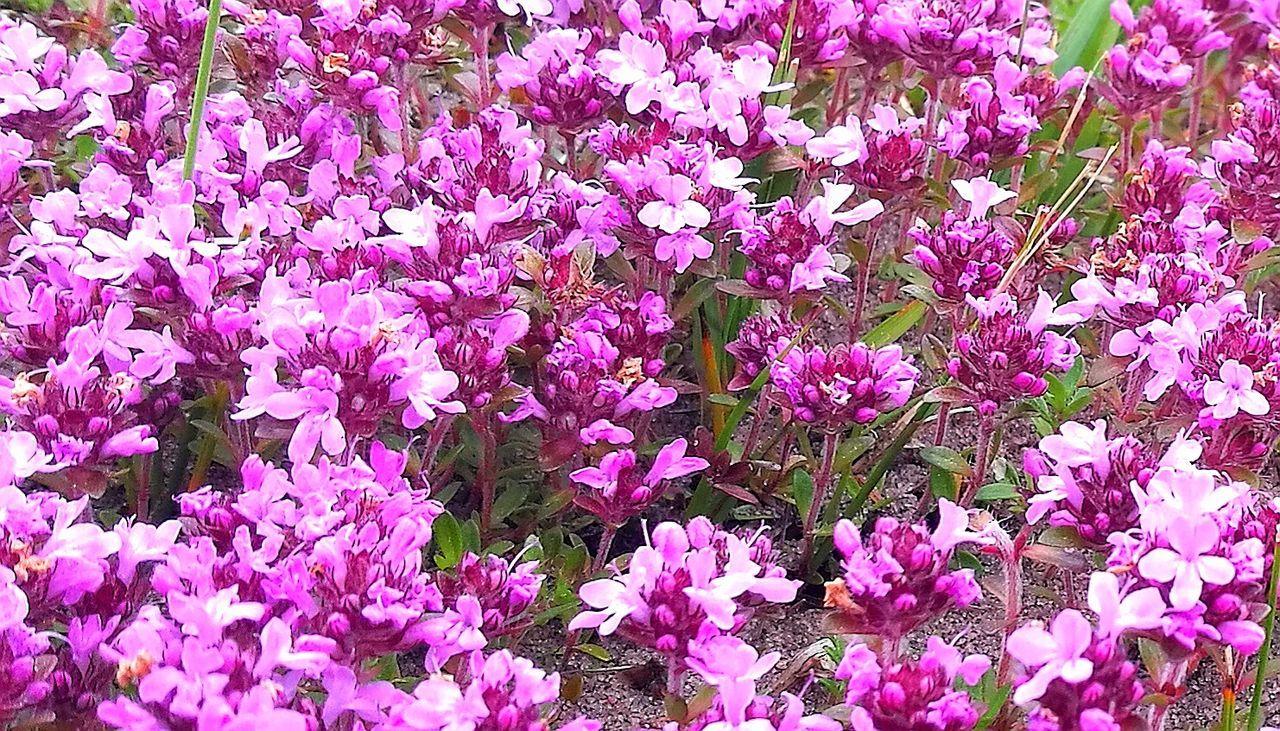 Thymus Serpyllum Moss Moss Close Up Mossy Garden Grass Flower Beauty In Nature Purple Backgrounds Blooming Close-up My Park🌲🏞🏡🌾👍