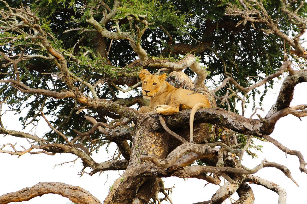 Animal Themes Tree Animals In The Wild Mammal Low Angle View Nature Branch No People Animal Wildlife One Animal Outdoors Day Young Animal Tree Lion In Tree Treetop Treetops Hight High Up Nature Passenger Lions Lion