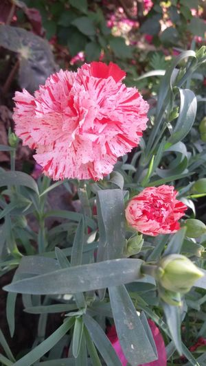 Carnation Delicate Winter Gift Shaded Natural Beauty Blooming Close-up Fragility Freshness Oil Colour Outdoors