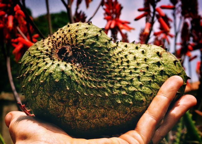 EyeEm Selects Nature Soursop Uganda  Africa Perspectives On Nature Growth Freshness Food And Drink Tropics Tropical Paradise African Food Superfood Organic Healthy Eating Fruit Healthy Lifestyle Sour Sop Tropical Fruits Cherimoya Exotic Fruits Carribean Food Adventure Travel Destinations Focus On Foreground
