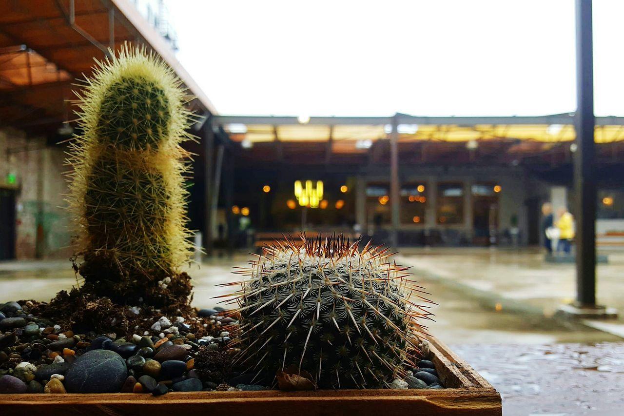 Manuela Dtla Dtla Art District DTLA Dtla Rainyday DowntownLA Cactus Rain Adapted To The City Architecture Focus On Foreground